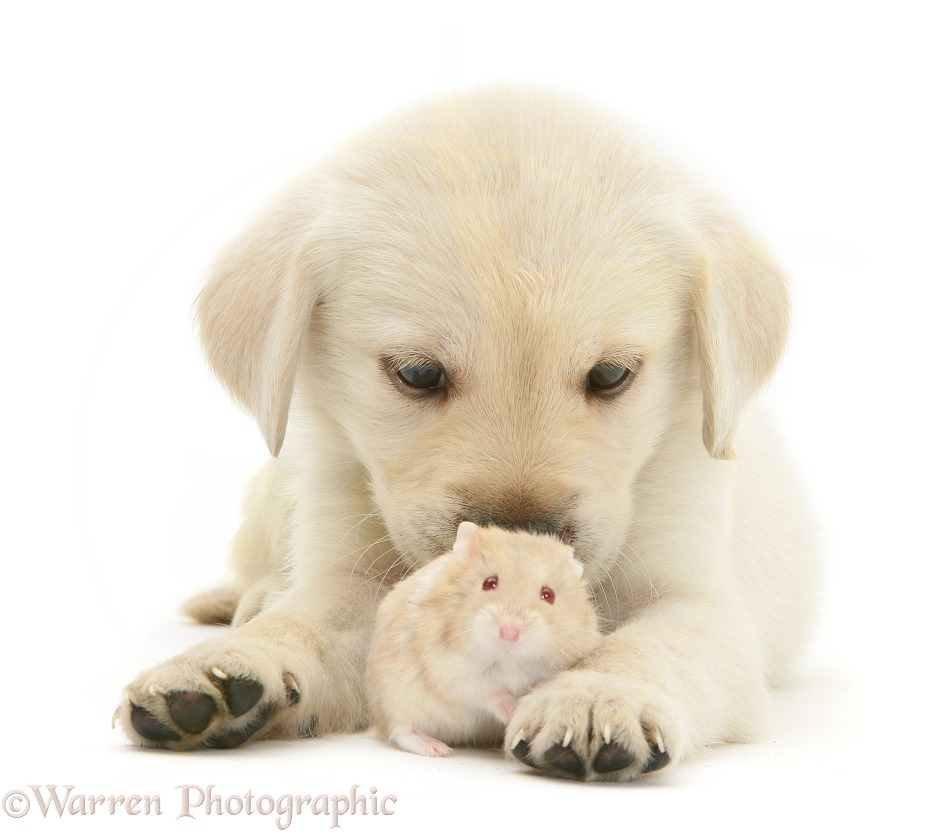 Retriever-cross pup with a hamster, white background