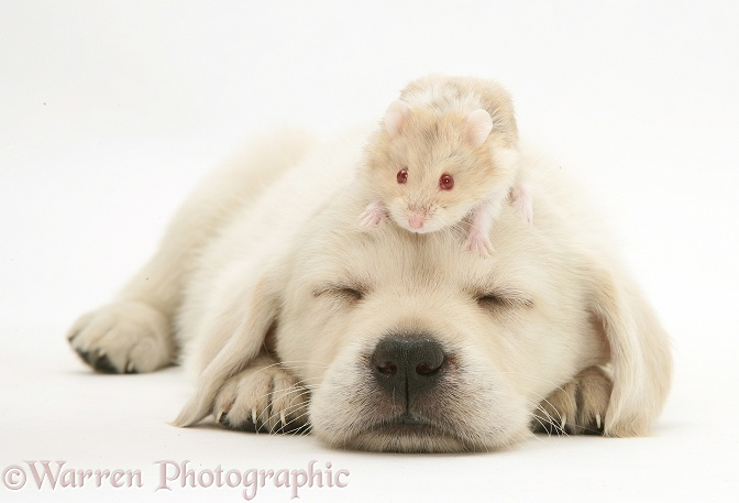 Sleepy Retriever-cross pup with a hamster on its head, white background