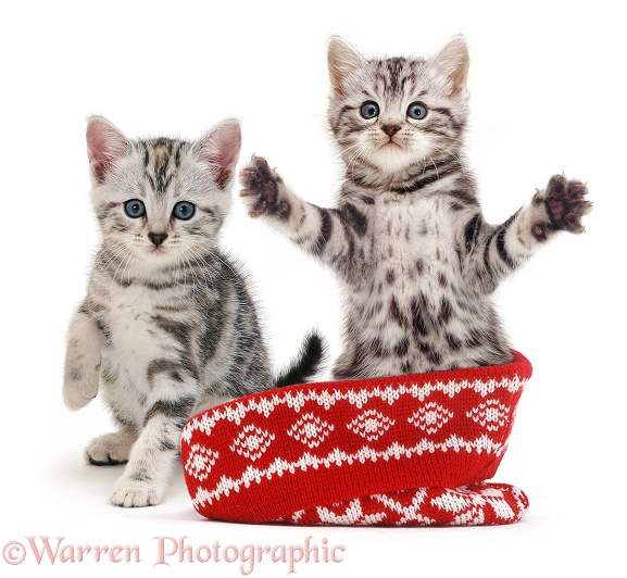 Silver tabby kittens in a woolly hat, white background