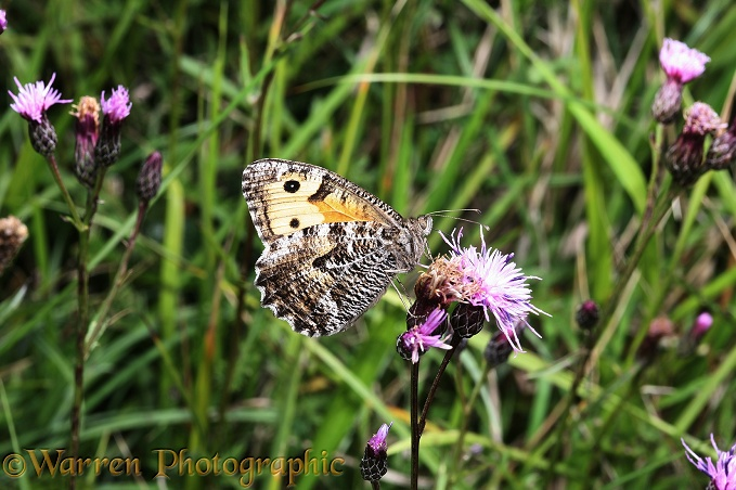 Grayling Butterfly (Hipparchia semele) feeding on Sawwort (Serratula tinctoria) on chalk downland.  Europe