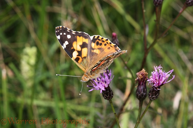 Painted Lady Butterfly (Cynthia cardui) feeding on Sawwort (Serratula tinctoria) on chalk downland.  Europe