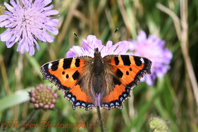 Small Tortoiseshell Butterfly (Aglais urticae) feeding on Field Scabious (Knautia arvensis).  Europe