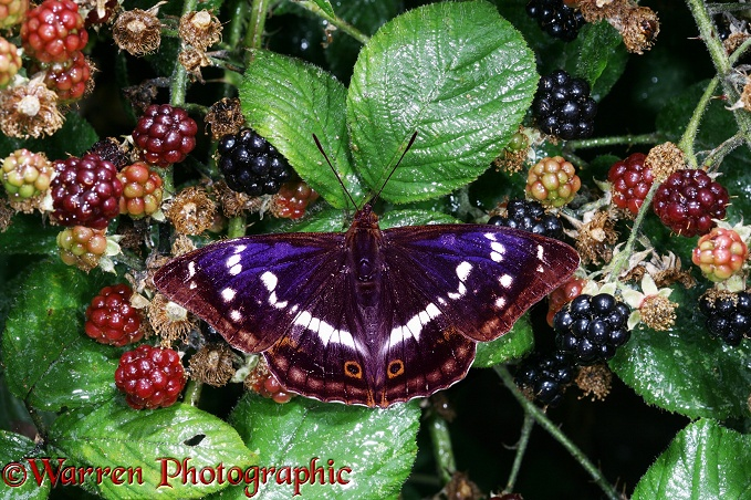 Purple Emperor Butterfly (Apatura iris) on ripening Bramble berries
