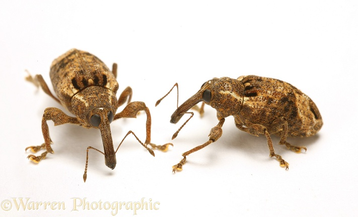 Tropical weevil (unidentified).  Trinidad, white background