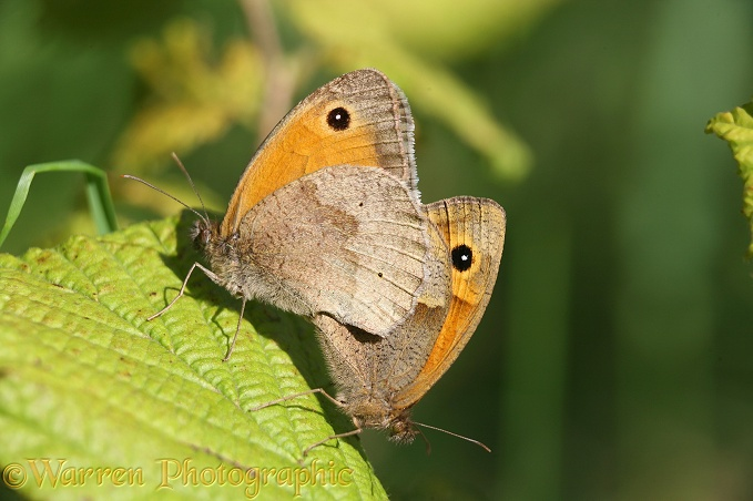 Meadow brown mating pair