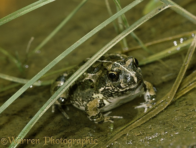 Striped Pyxie Frog (Pyxicephalus delalandii) male sitting in a rain puddle.  Africa