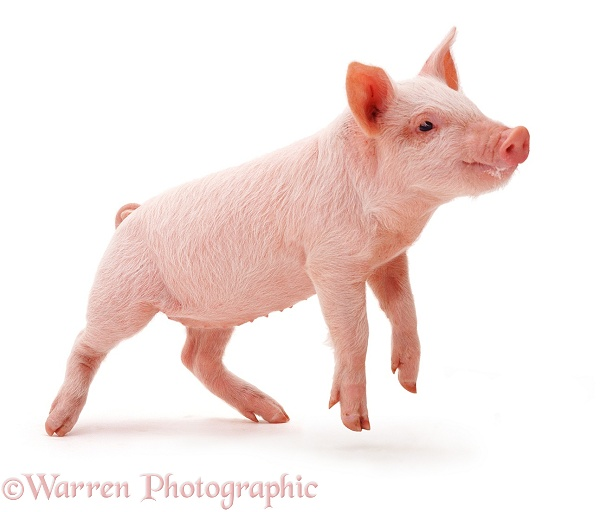 Middle White piglet, white background