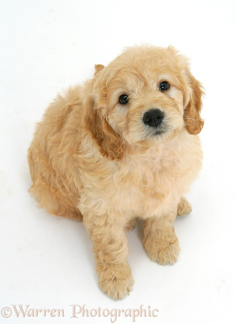 Dog Miniature Goldendoodle Pup 7 Weeks Old Photo Wp17011