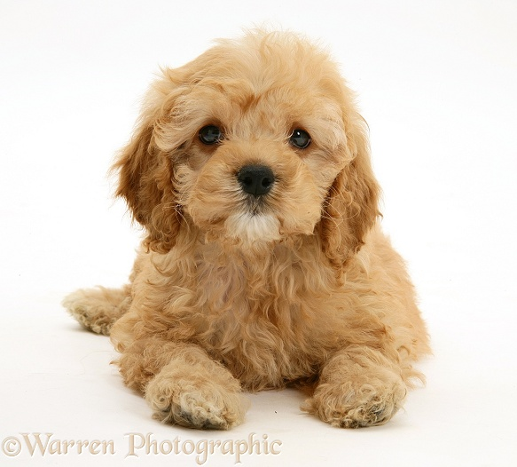 American Cockapoo puppy, 8 weeks old, white background