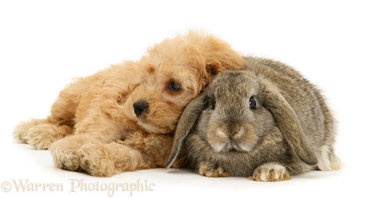 American Cockapoo puppy, 8 weeks old, with agouti Lop rabbit, white background