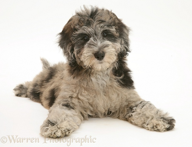 Blue merle Cadoodle pup (Collie x Poodle), Kizzy, 12 weeks old, white background