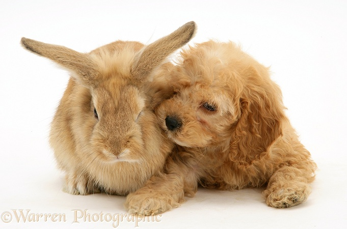 American Cockapoo puppy, 8 weeks old, with sandy Lionhead-cross rabbit, white background