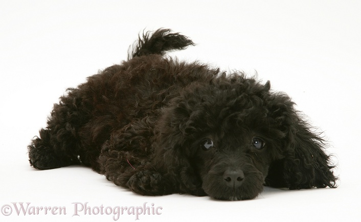Black Miniature Poodle lying with chin on floor, white background