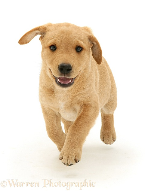 Yellow Labrador Retriever pup, 8 weeks old, running