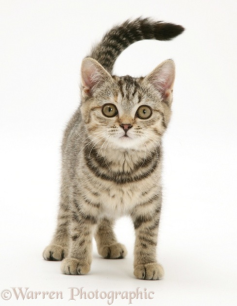 Brown spotted kitten, white background