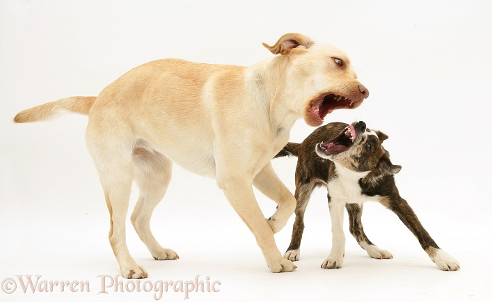 Yellow Labrador Retriever, Millie, playing with mongrel pup, Brec, white background