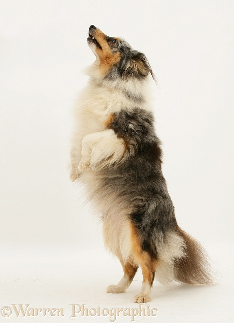 Blue merle Shetland Sheepdog bitch Sapphire, standing, white background