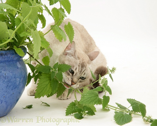 Bengal x Birman cat, Spice, eating a catmint plant, white background