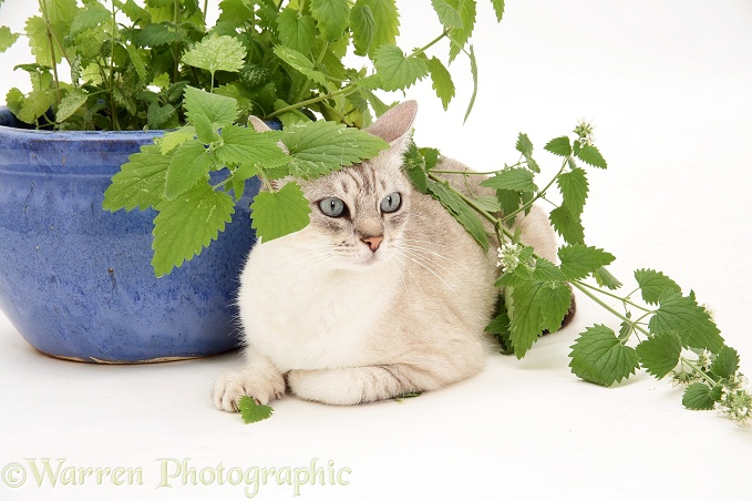 Bengal x Birman cat, Spice, sitting under a catmint plant, white background