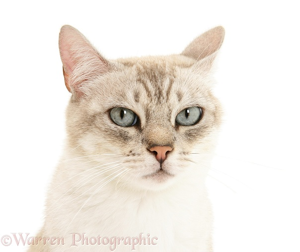Bengal x Birman cat, Spice, white background