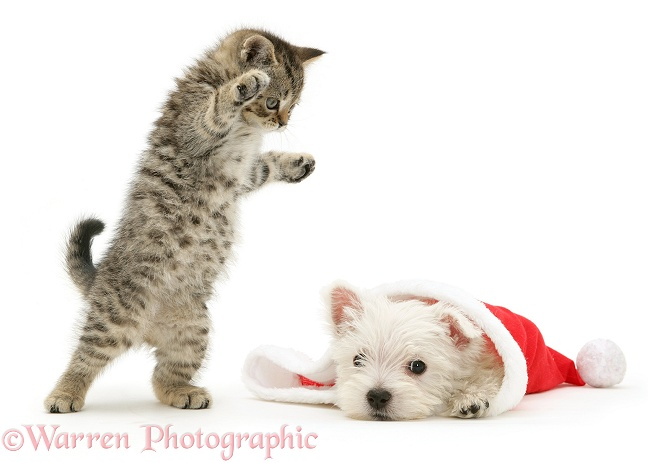 A playful tabby kitten pouncing on a West Highland White Terrier pup as he pokes his head out from a Father Christmas hat, white background