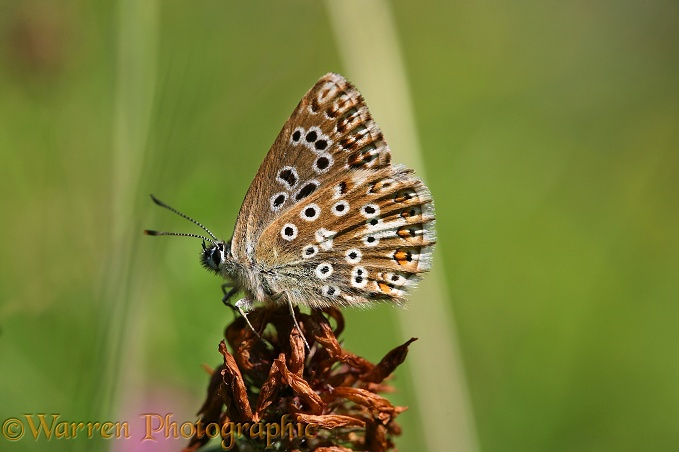 Adonis Blue Butterfly (Lysandra bellargus) female at rest on a clover dead head.  Europe