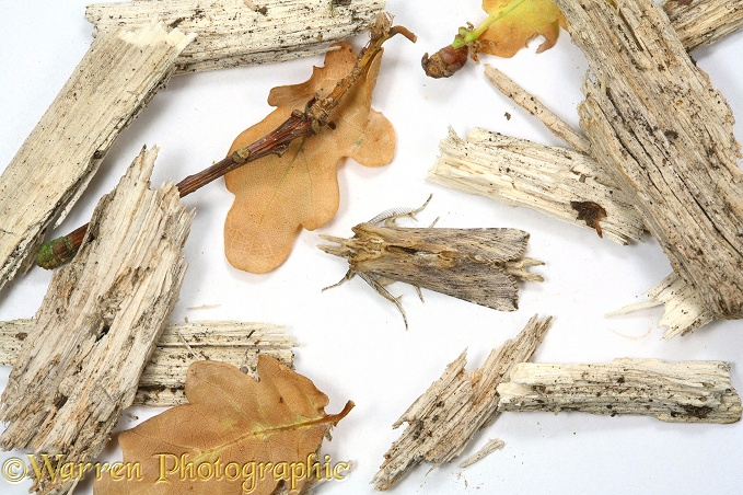 Pale Prominent Moth (Pterostoma palpina) with forest floor debris to show camouflage.  Europe, white background