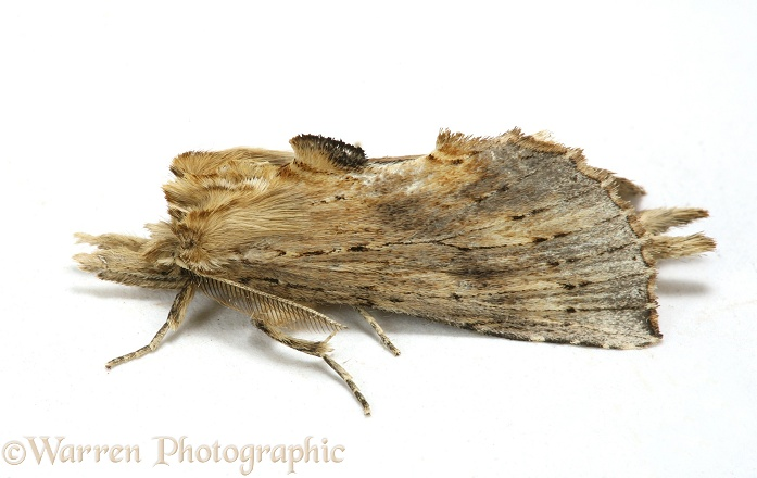 Pale Prominent Moth (Pterostoma palpina) male.  Europe, white background