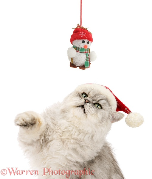 Silver tabby chinchilla Persian male cat Cosmos, wearing a Father Christmas hat and trying to swipe a hanging snowman toy, white background