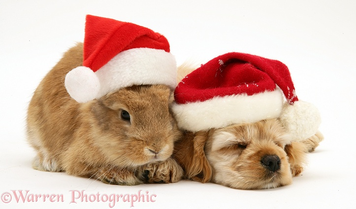 Buff American Cocker Spaniel puppy, China, 10 weeks old, asleep with Sandy Lionhead-cross rabbit, both wearing Father Christmas hats, white background