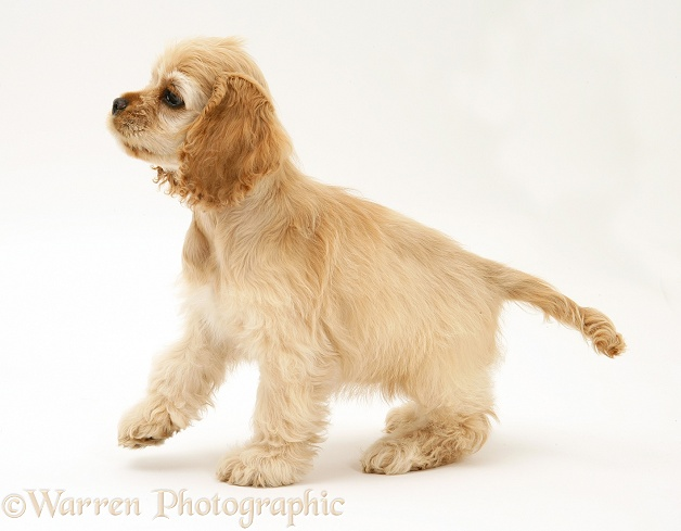 Buff American Cocker Spaniel pup, China, 10 weeks old, white background