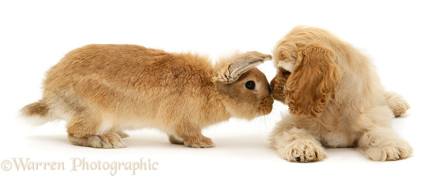 Buff American Cocker Spaniel pup, China, 10 weeks old, nose-to-nose with Sandy Lionhead-cross rabbit, white background