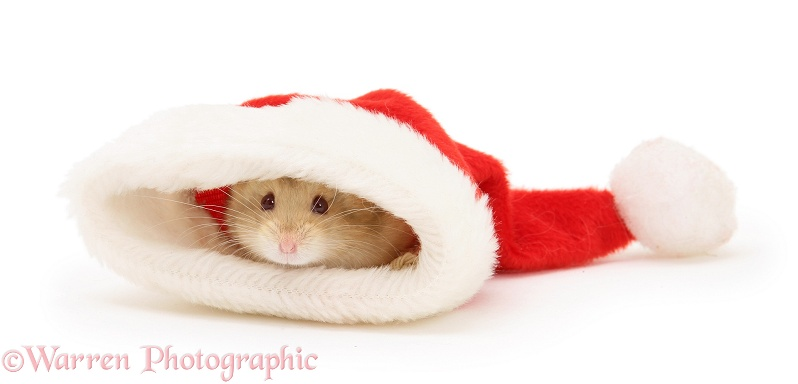 Hamster poking its nose out of a Santa hat, white background