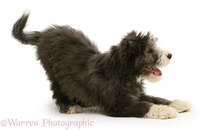Blue Bearded Collie pup, Misty, 3 months old, in play-bow, white background