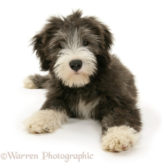Blue Bearded Collie pup, Misty, 3 months old, white background