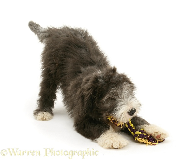 Blue Bearded Collie pup, Misty, 3 months old, in play-bow, playing with a ragger toy, white background