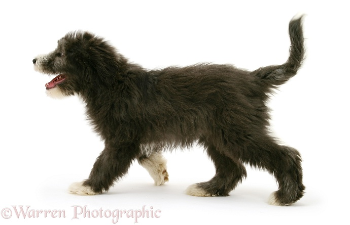 Blue Bearded Collie pup, Misty, 3 months old, walking across, white background