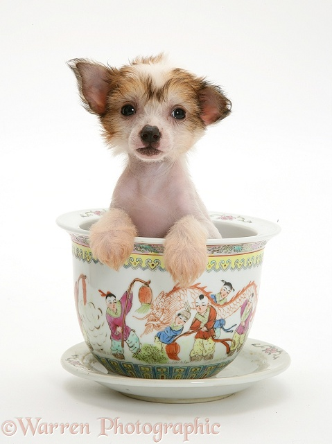 Naked Chinese Crested pup in a Chinese pot, white background