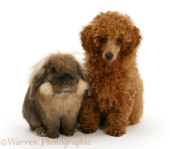 Red Toy Poodle pup, Reggie, 12 weeks old, with a Lionhead rabbit, white background