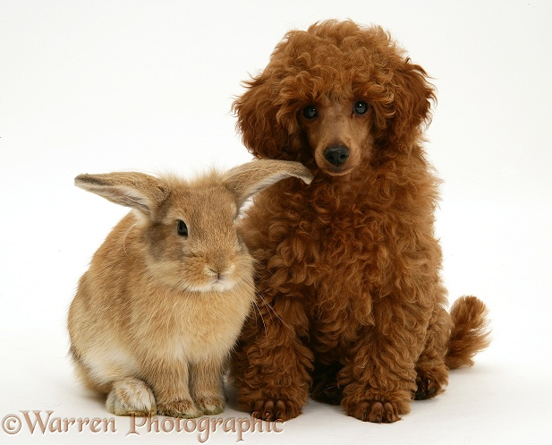 Red Toy Poodle pup, Reggie, 12 weeks old, with a Lionhead-cross rabbit, white background