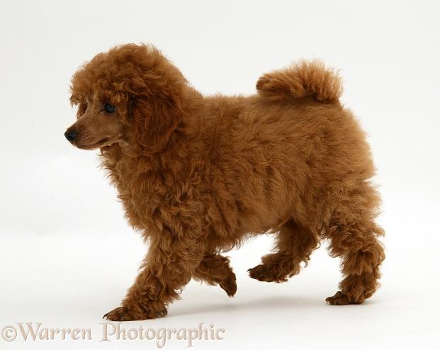 WP17186 Red Toy Poodle pup, Reggie , 12 weeks old.