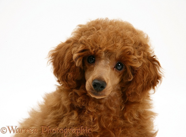 Red Toy Poodle pup, Reggie, 12 weeks old, white background