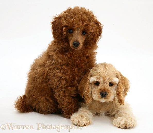 american-cocker-spaniel-brown-and-white