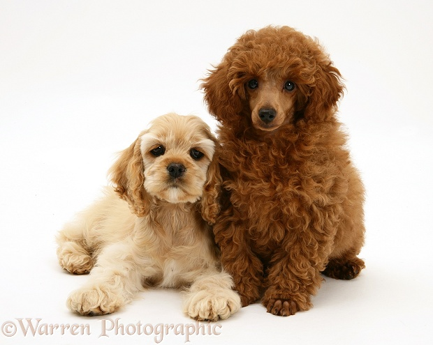 Red Toy Poodle pup, Reggie, 12 weeks old, with buff American Cocker Spaniel pup, China, 11 weeks old, white background