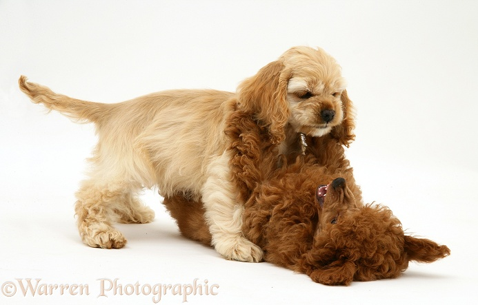 Red Toy Poodle pup, Reggie, 12 weeks old, play-fighting with buff American Cocker Spaniel pup, China, 11 weeks old, white background