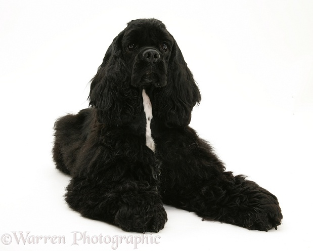 Black American Cocker Spaniel, Josie, 13 months old, white background