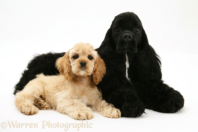 Black American Cocker Spaniel, Josie, 13 months old, with buff American Cocker Spaniel pup, China, 11 weeks old, white background