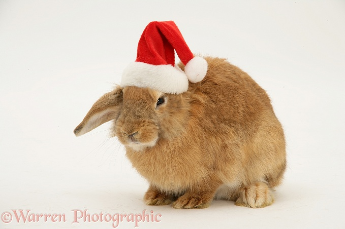 Lionhead-cross rabbit with Santa hat on, white background