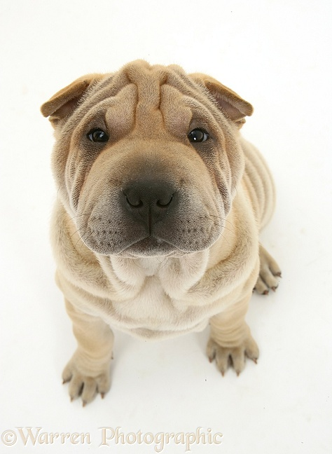 Shar-pei pup, Beanie, looking up, white background