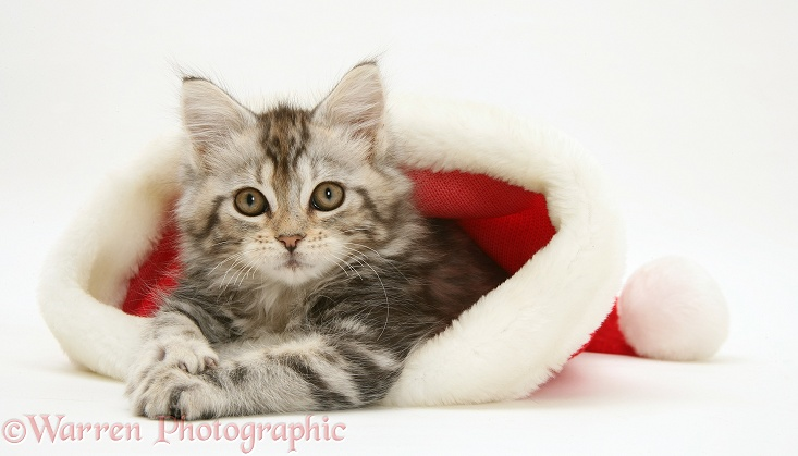 Tabby Maine Coon kitten in a Father Christmas hat, white background